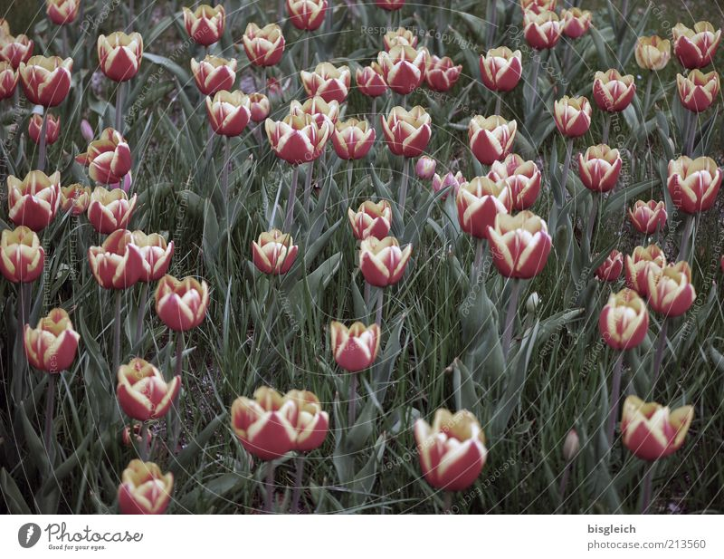 Tulpenfeld Natur Blume grün Pflanze rot Wiese Blüte rosa Wachstum mehrere Blühend viele Blumenwiese