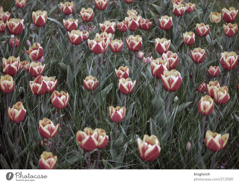 Tulpenfeld Natur Blume grün Pflanze rot Wiese Blüte rosa Wachstum mehrere Blühend viele Tulpe Blumenwiese