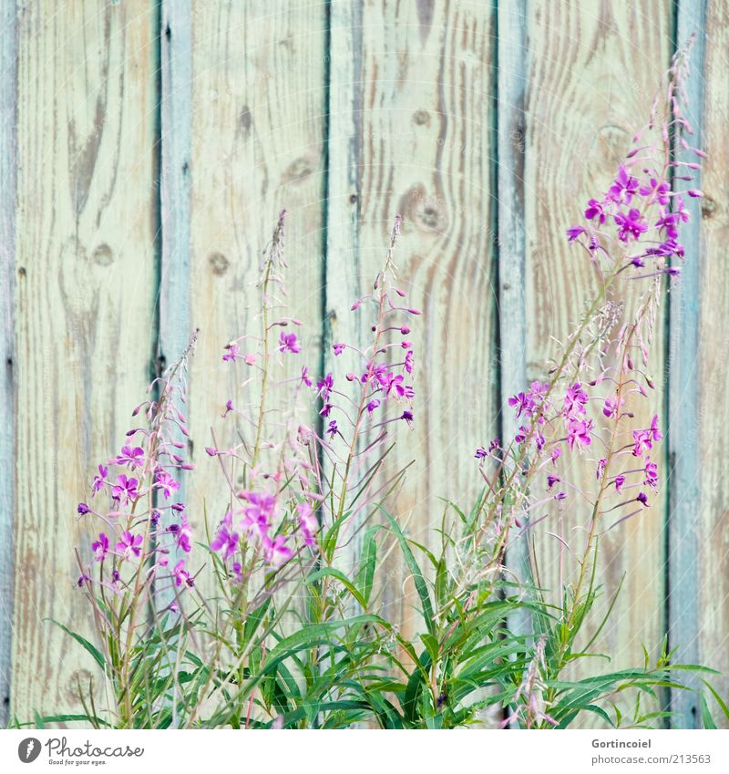 Spätsommer Natur schön Pflanze Sommer Blume Umwelt Blüte Holz rosa violett Holzwand Blütenpflanze