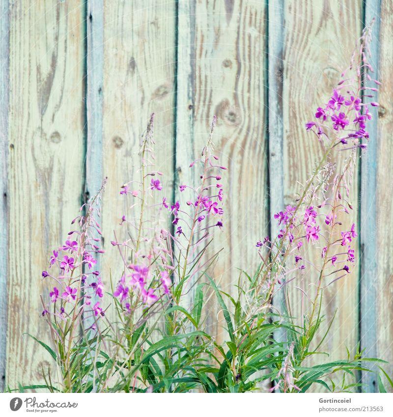 Spätsommer Umwelt Natur Pflanze Sommer Blume Blüte schön violett rosa Blütenpflanze Holzwand Farbfoto Außenaufnahme Textfreiraum oben Menschenleer