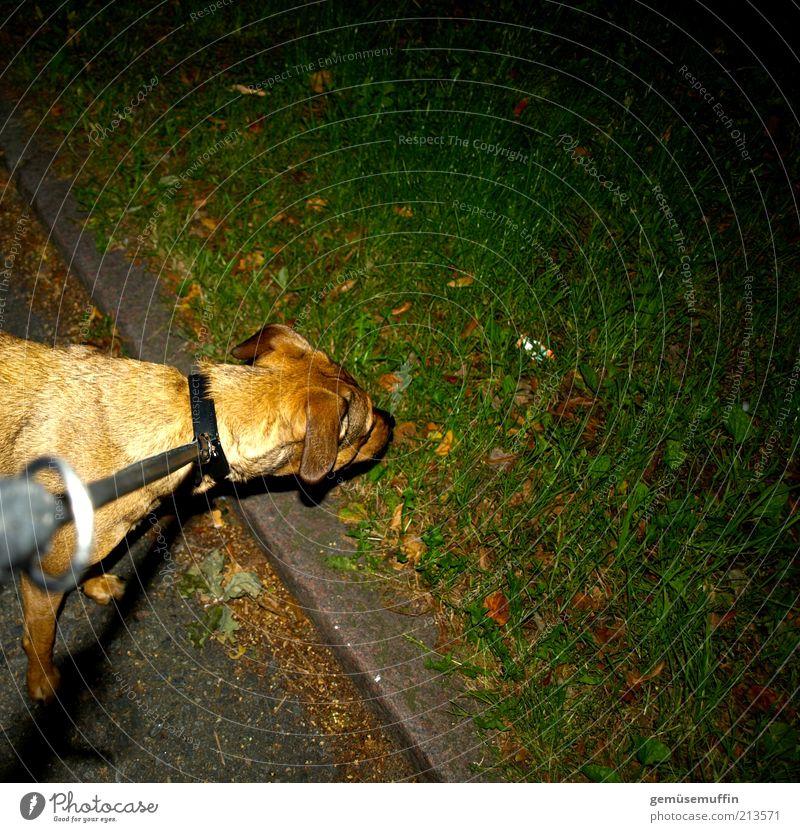 was riecht denn hier so gut.... Gras Wiese Haustier Hund Fell 1 Tier Beton beobachten Blick frech nass Neugier niedlich stark unten braun grün schwarz Kraft