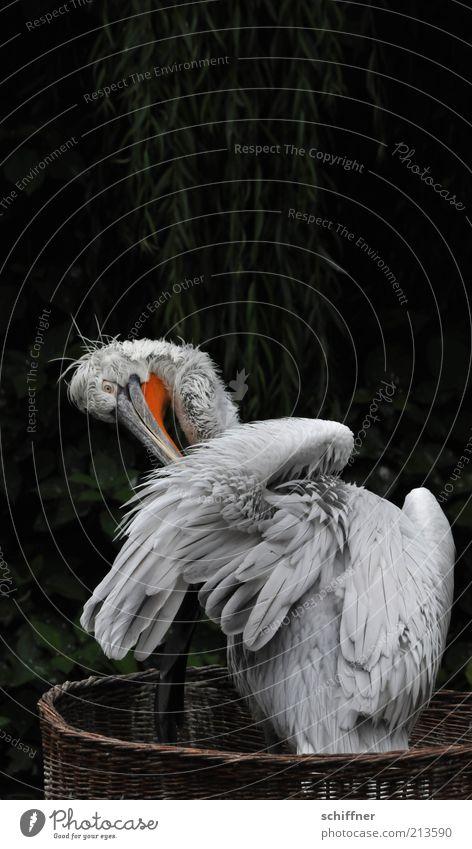 Schon wieder putzen Natur Tier Wildtier Vogel 1 Reinigen grau Feder Flaum Schnabel Pelikan dunkel dunkelgrün Baum Pflanze Korb Dämmerung Tierporträt