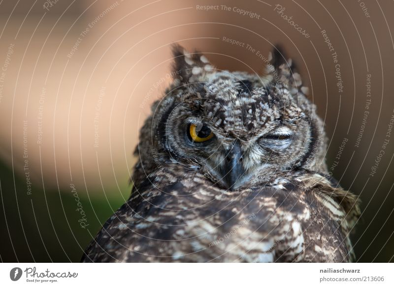 Eulenblick Natur Tier Vogel Tiergesicht beobachten Müdigkeit Wildtier Langeweile Trägheit Gefühle Tierjunges Eulenvögel Uhu