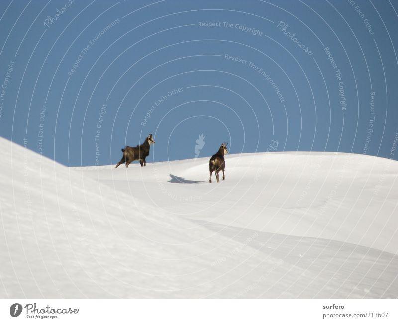 Natur schön weiß blau Winter Tier kalt Schnee Glück grau braun hoch Abenteuer beobachten Alpen wild