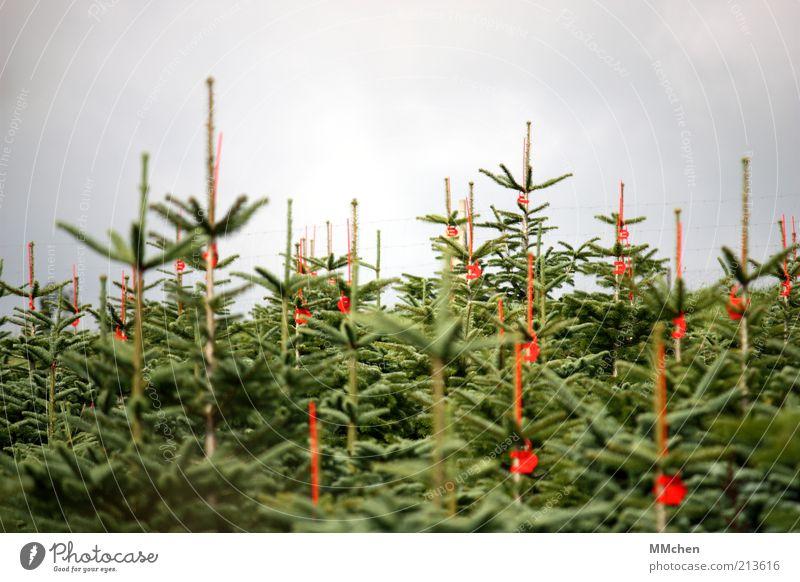 GNWB Natur Weihnachten & Advent Baum Wald warten Schilder & Markierungen Wachstum mehrere Weihnachtsbaum Spitze Tanne geduldig gerade Auswahl fixieren