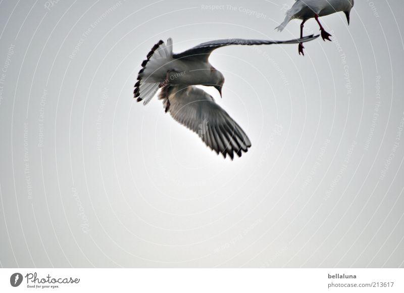 Lachmöwen Freiheit Sommer Sommerurlaub Strand Meer Umwelt Natur Luft Himmel Wolkenloser Himmel Wetter Schönes Wetter Küste Ostsee Tier Wildtier Vogel Flügel