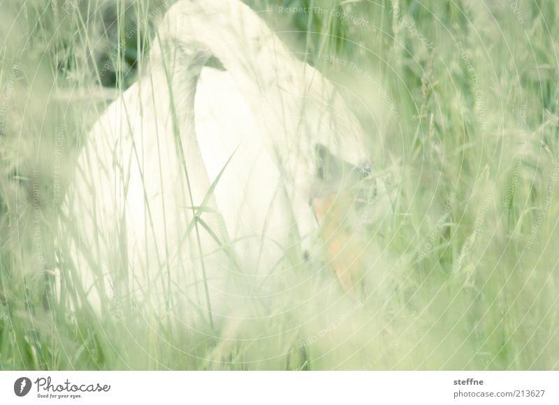 Fotosafari Gras Park Wiese Tier Wildtier Schwan 1 außergewöhnlich friedlich Farbfoto Gedeckte Farben Außenaufnahme Tag Licht Unschärfe Tierporträt