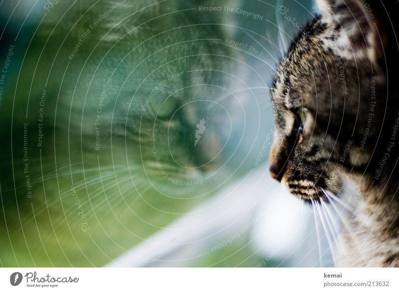 face your enemy grün Auge Tier Fenster Katze Tiergesicht Fell Langeweile Fensterscheibe Haustier Spiegelbild Reflexion & Spiegelung Tierliebe