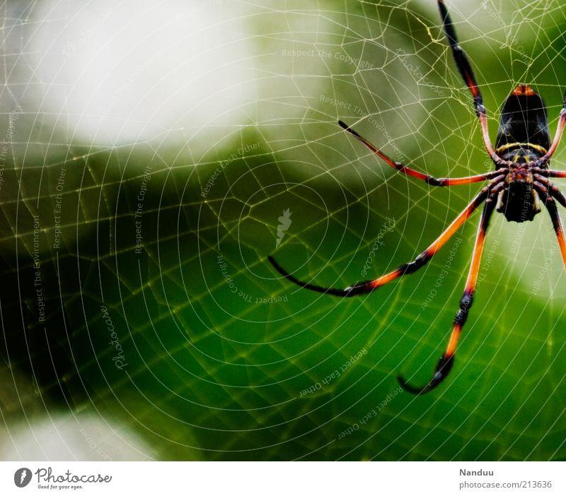 Die will nur spielen Natur Tier Wildtier Spinne Seidenspinne 1 Ekel gruselig groß Spinnennetz Seychellen Urwald tropisch Textfreiraum links Textfreiraum unten