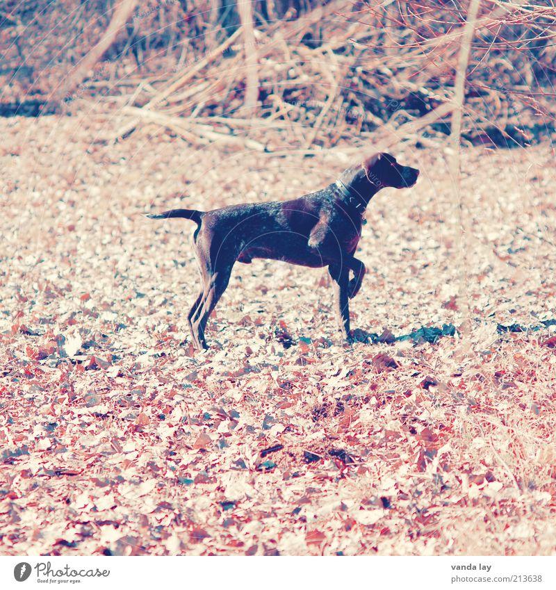 Halali Hund Tier Herbst stehen Konzentration hören Jagd Wachsamkeit Herbstlaub Haustier Jäger Nutztier Oktober kennzeichnen Textfreiraum links Jagdhund