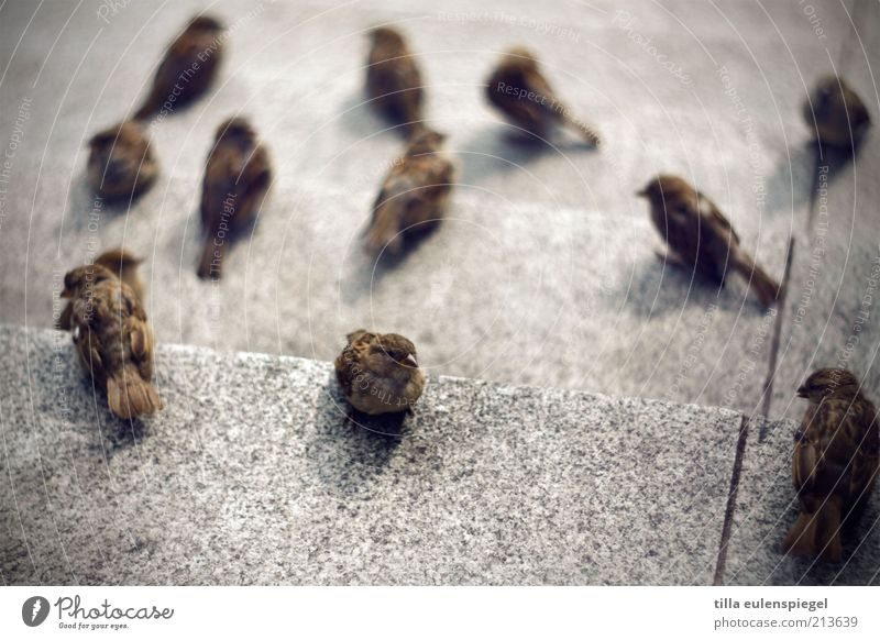 der eine Tier Vogel Spatz Schwarm beobachten warten Zusammensein klein Neugier niedlich braun grau achtsam Interesse Hoffnung viele mehrere Wegsehen zuwenden