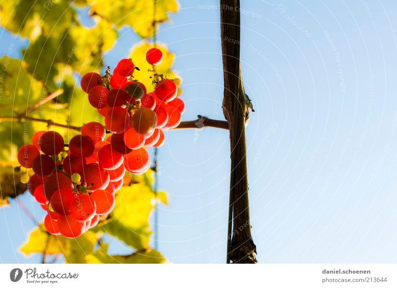 Mund auf !!!! Frucht Himmel Wolkenloser Himmel Herbst Pflanze Blatt Nutzpflanze blau gelb grün rot Wein Jahreszeiten Textfreiraum rechts Froschperspektive