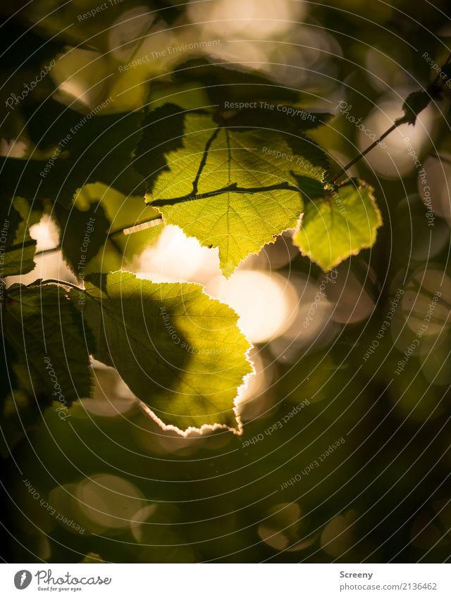 Am Ende des Tages... Natur Pflanze Sonne Sonnenaufgang Sonnenuntergang Sonnenlicht Sommer Schönes Wetter Baum Blatt Wald Wärme gelb gold grün Gelassenheit ruhig