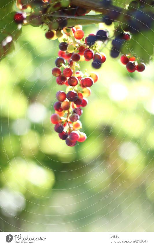 Mund auf...Fässer auf !!! Natur grün Pflanze rot Ernährung Herbst Umwelt Lebensmittel Gesundheit Freizeit & Hobby Frucht frisch süß rund Wein violett