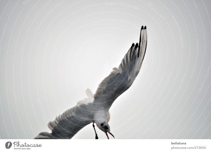 Absturz Natur Himmel Meer Sommer Strand Ferien & Urlaub & Reisen Tier Freiheit Vogel Küste Wetter Umwelt fliegen Feder Flügel schreien