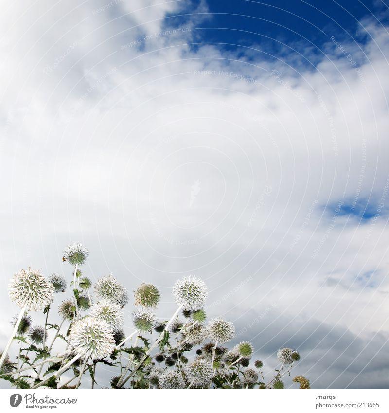 Blowing in the Wind Natur schön weiß Blume blau Pflanze Wolken Gefühle Stimmung Umwelt ästhetisch mehrere Vergänglichkeit Blühend Distel Wildpflanze