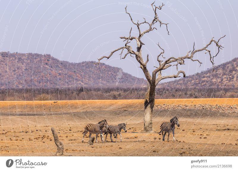 Zebras Ferien & Urlaub & Reisen Ausflug Abenteuer Freiheit Safari Expedition Sonne Umwelt Natur Landschaft Erde Sand Wärme Dürre Baum Hügel Wüste Tier Wildtier
