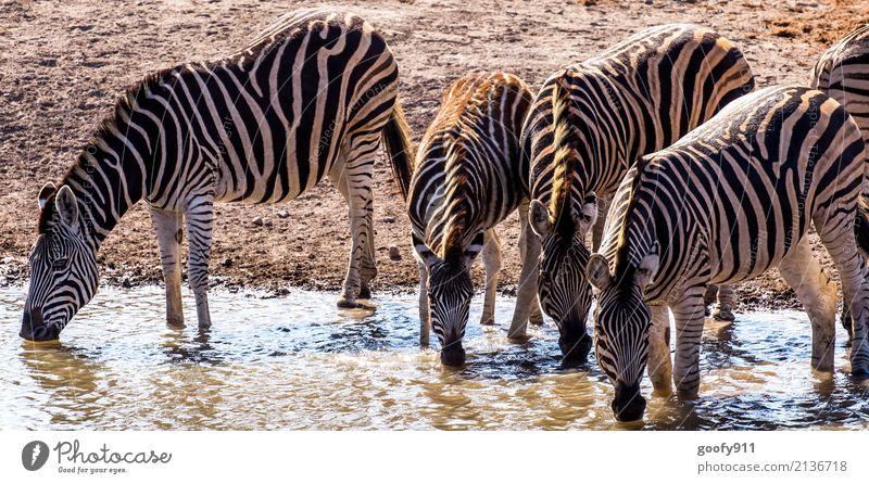 Durstig!!! Natur Ferien & Urlaub & Reisen Wasser Landschaft Tier Wärme Umwelt Freiheit Sand Ausflug Erde Wildtier stehen Abenteuer Tiergruppe entdecken