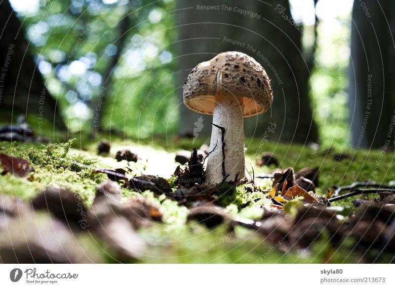 Märchenwald Pilzhut Waldboden Herbst herbstlich Moos Sonnenlicht Waldlichtung Tag Essen Foodfotografie Erde Natur Herbstwald natürlich Wachstum Baum Umwelt wild