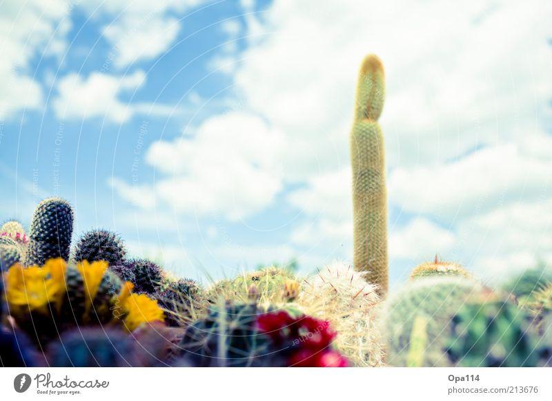 Mein kleiner grüner Kaktus Pflanze Himmel Wolken Sommer Schönes Wetter Grünpflanze exotisch Garten Blühend ästhetisch stachelig blau gelb gold rot weiß Macht