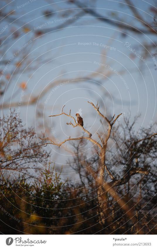 Da sitzt er! Natur Baum blau ruhig schwarz Einsamkeit Tier Leben Landschaft braun Vogel Kraft warten sitzen frei wild