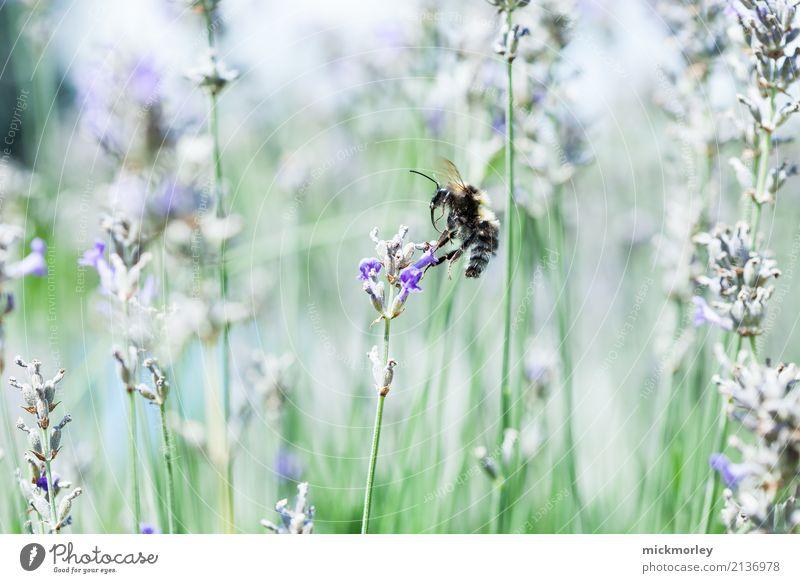 Anflug des Sammlers Gesundheit Gesundheitswesen Duft Sommer Gartenarbeit Umwelt Natur Pflanze Klima Schönes Wetter Gras Sträucher Park Wiese Tier Nutztier