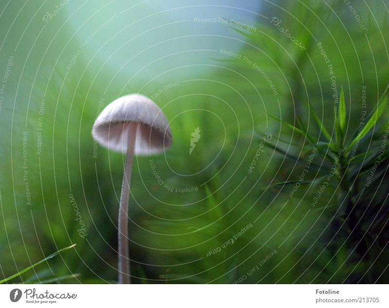 Neulich im Märchenwald Natur weiß grün Pflanze Umwelt hell natürlich Wachstum weich Pilz Moos Waldboden Wildpflanze Pilzhut Menschenleer