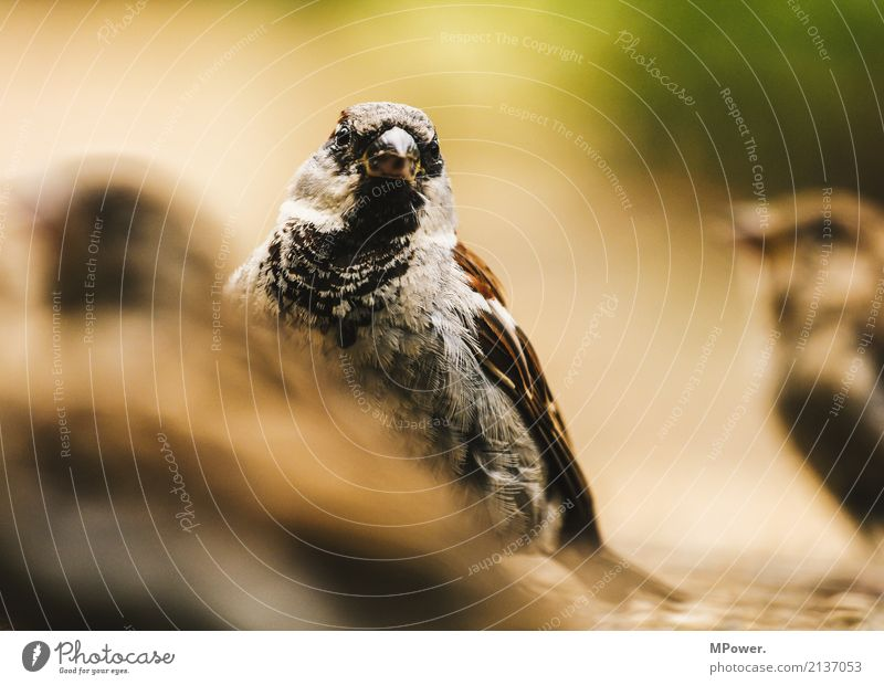 der gemeine haussperling Natur Tier Wildtier Vogel 1 beobachten füttern klein Spatz Sperlingsvögel Feder Nahaufnahme Farbfoto Menschenleer Unschärfe