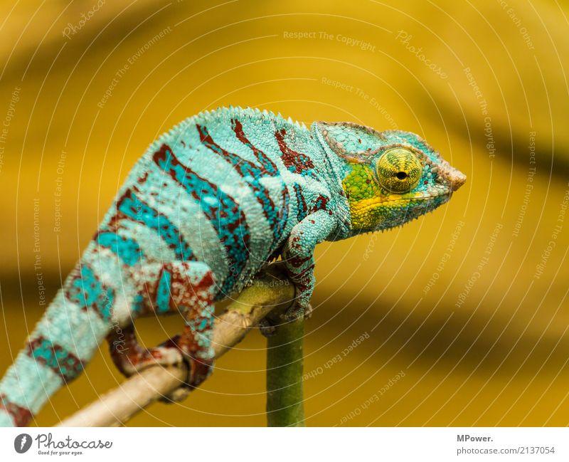 take a look around Natur Tier Zoo 1 krabbeln exotisch fantastisch schön Chamäleon türkis Auge ruhig Reptil orange Stillleben Farbfoto mehrfarbig Außenaufnahme