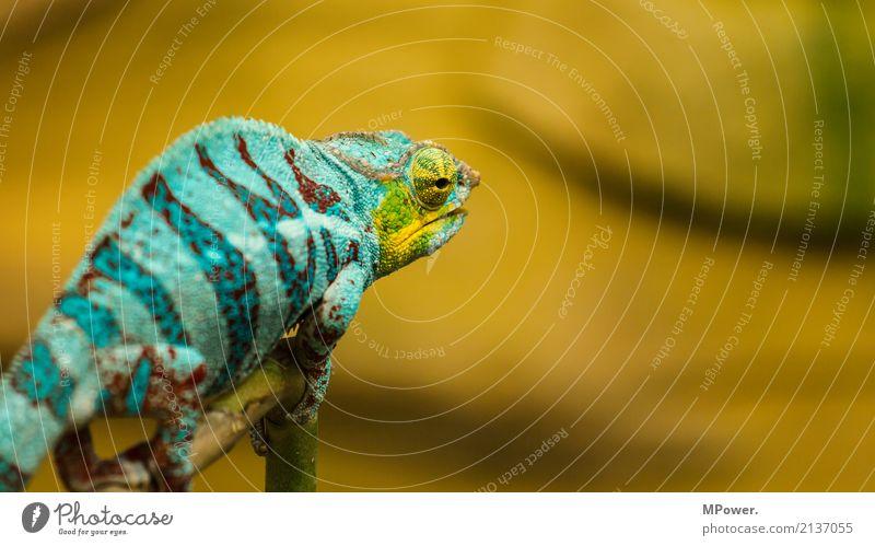 colorful Natur ruhig bewegungslos Blick beobachten Echsen Dinosaurier Tier Zoo 1 krabbeln exotisch fantastisch schön Chamäleon türkis Auge Reptil orange