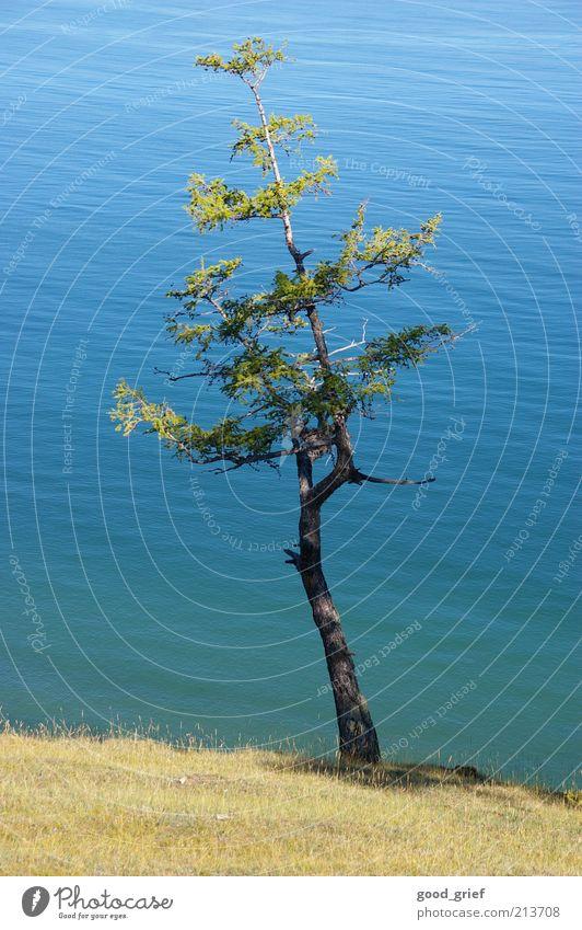 bäumlein Umwelt Natur Landschaft Pflanze Erde Wasser Klima Schönes Wetter Baum Meer Teich See frei baikalsee lake baikal Kiefer Ast Zweige u. Äste deutlich
