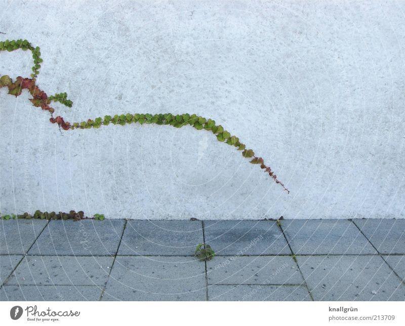 Tentakel Pflanze Efeu Grünpflanze Mauer Wand lang grau grün weiß Natur kleben ausbreiten Bodenplatten Bürgersteig Kletterpflanzen Mauerritze Farbfoto