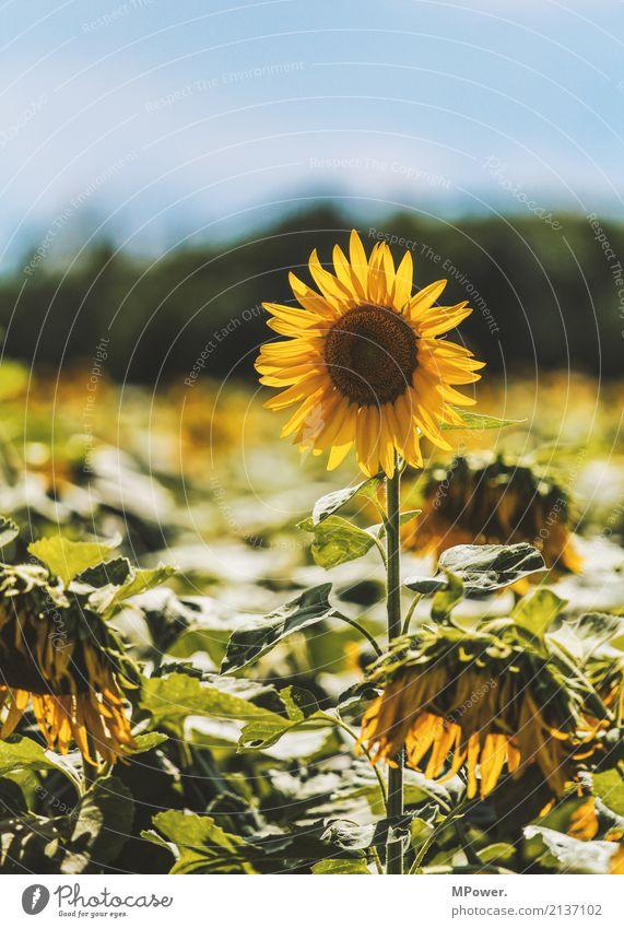 sonnenblume Pflanze Baum Blatt gelb Blüte Feld Schönes Wetter Sonnenblume standhaft Sonnenblumenfeld