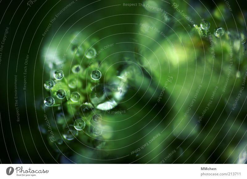 wir sehen dich Natur Wasser grün Pflanze Hintergrundbild nass Wassertropfen frisch Kugel leuchten feucht Tau Makroaufnahme Außerirdischer außerirdisch