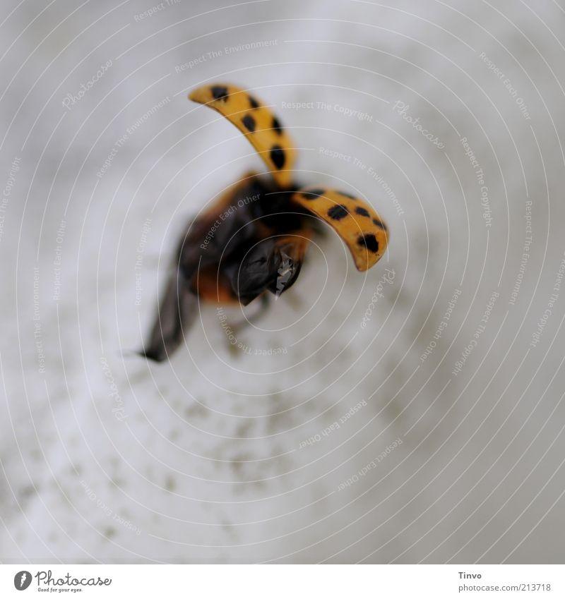 startender/landender Marienkäfer Käfer Flügel 1 Tier fliegen grau schwarz startbereit Abheben Detailaufnahme Landen gepunktet Freisteller gelb orange Farbfoto