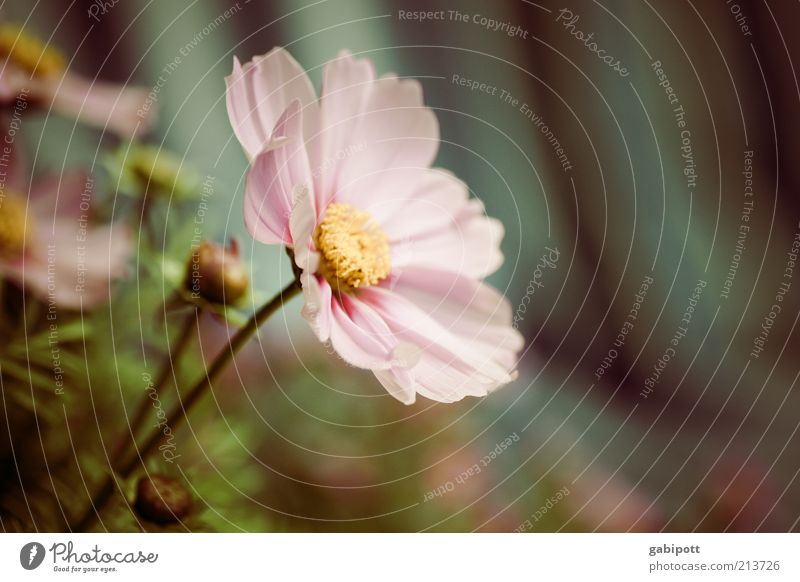 Gartenarbeit Teil3 Umwelt Natur Pflanze Blume Blüte Schmuckkörbchen Duft schön rosa Frühlingsgefühle Sympathie Romantik Idylle Leichtigkeit nachhaltig
