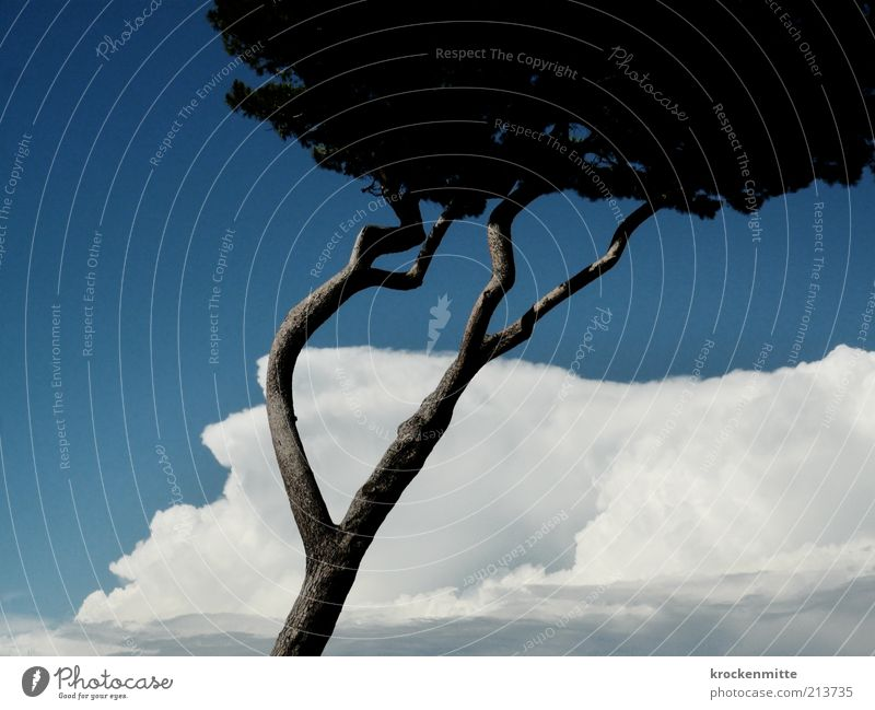 windschief Natur Himmel Baum blau Pflanze Sommer Ferien & Urlaub & Reisen Wolken Wind Umwelt Reisefotografie Italien Ast einzigartig außergewöhnlich Baumstamm