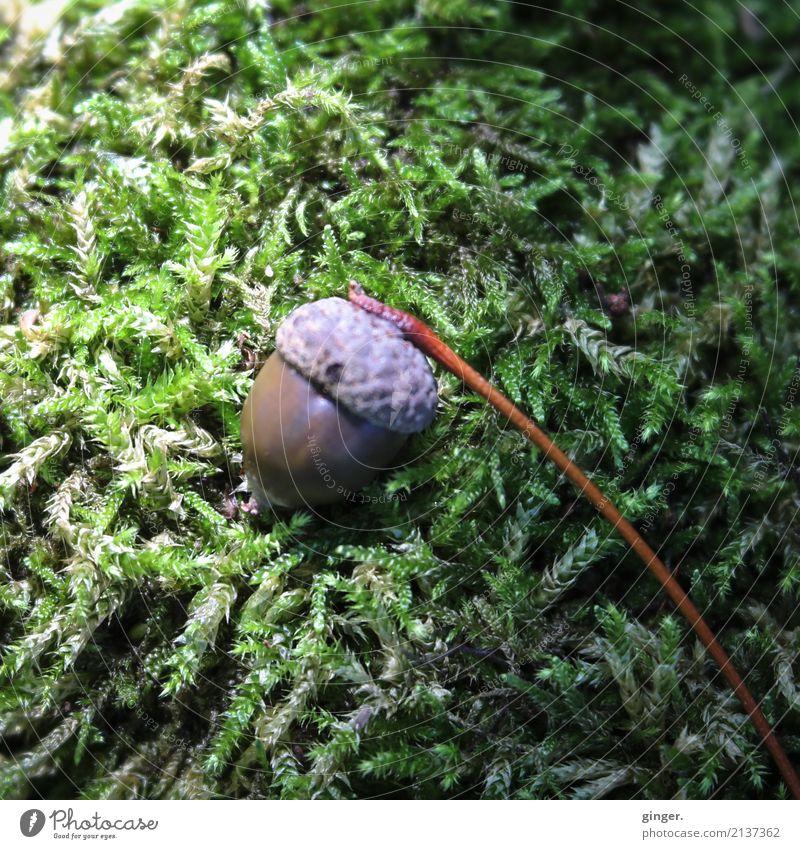 Herbstbote Natur Pflanze Sommer grün Umwelt braun Frucht liegen einzeln Stengel Moos herbstlich feucht Herbstfärbung Lichteinfall Eicheln