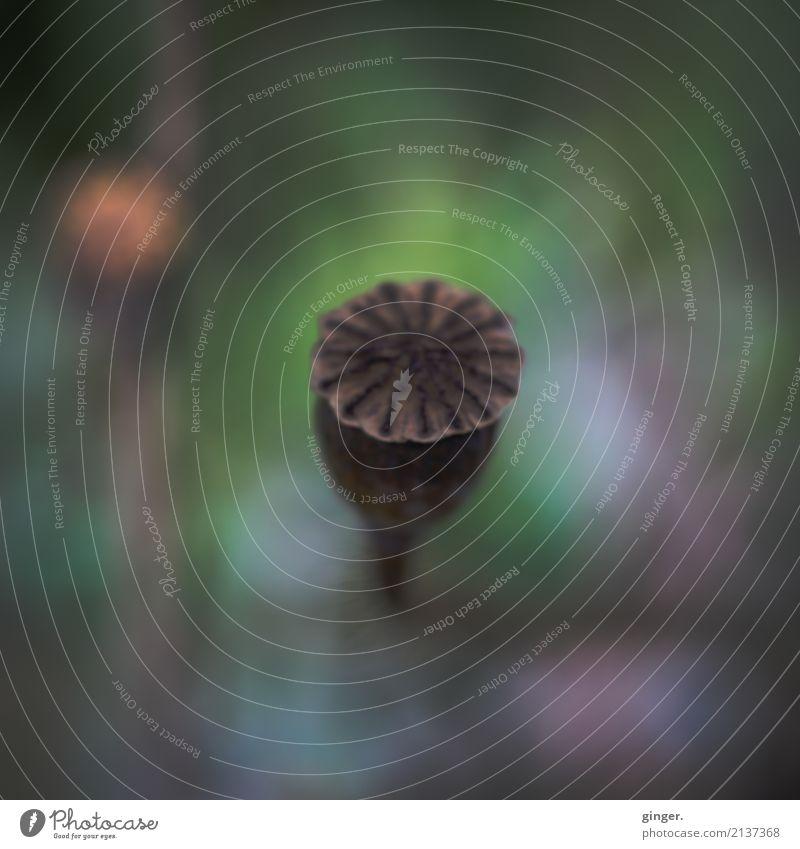 Düster mit ein klein wenig hell drumrum Umwelt Natur Pflanze Sommer Wiese dunkel einfach braun grün Frucht Mohn Mohnkapsel Unschärfe auftauchen 1