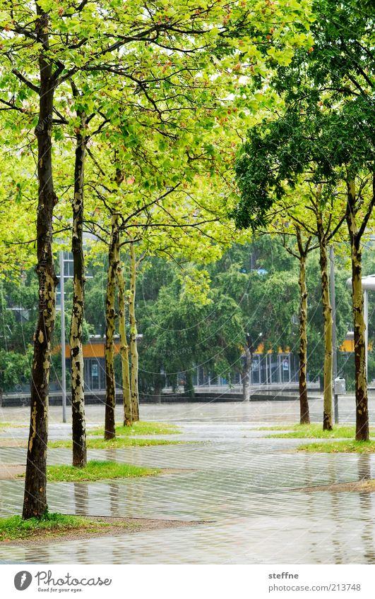 [H 10.1] rainy Frühling Regen Baum Allee Birke nass Farbfoto Außenaufnahme Tag Menschenleer Fußweg Platz