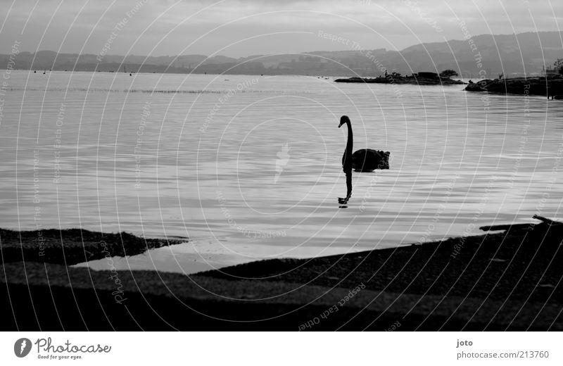 Schwanensee Natur Wasser schön ruhig Einsamkeit Tier Erholung Gefühle Landschaft Stimmung elegant Horizont Trauer ästhetisch Sehnsucht Schmerz