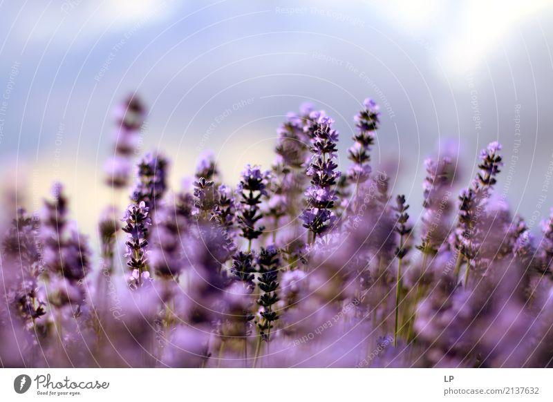 Lavendel bei Sonnenaufgang Natur Ferien & Urlaub & Reisen Pflanze Farbe Erholung ruhig Freude Leben Lifestyle Gesundheit Gefühle Hintergrundbild Garten Stimmung