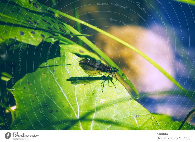 Libelle über einem grünen Blatt Umwelt Natur Pflanze Tier Gras Teich Wildtier Flügel Insekt Libellenflügel 1 klein nah natürlich wild blau entdecken schön