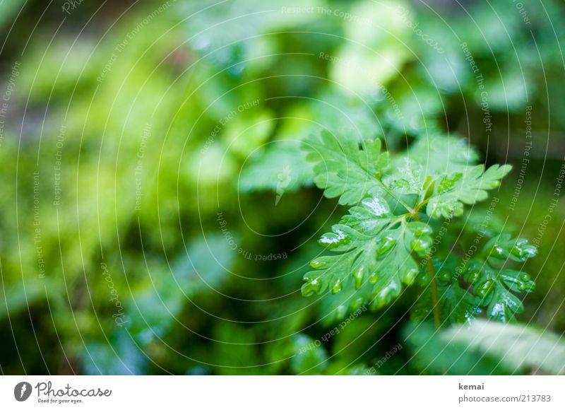 Waldkraut Umwelt Natur Pflanze Wasser Wassertropfen Sommer Regen Sträucher Blatt Grünpflanze Wildpflanze Wiese Wachstum nass grün Tropfen Kräuter & Gewürze