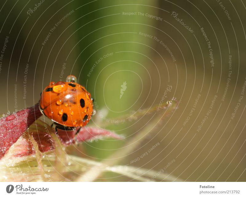 Glückskäfer Umwelt Natur Pflanze Tier Urelemente Wasser Wassertropfen Sommer Wildtier Käfer 1 hell nass natürlich grün rot schwarz krabbeln Marienkäfer Farbfoto