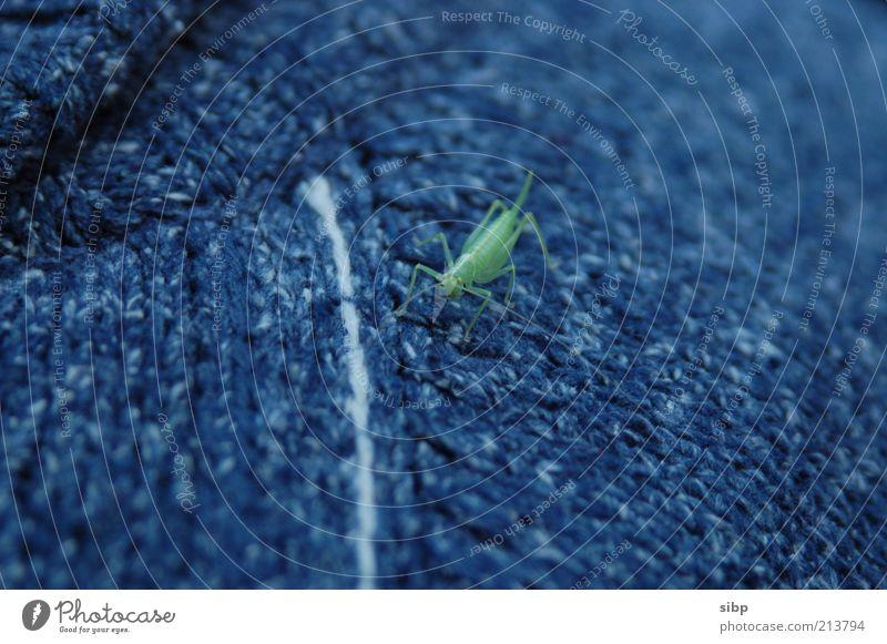 Guckst du!? grün Tier sitzen Insekt natürlich Wildtier Pullover Wolle hocken Heuschrecke Unschärfe Bekleidung Steppengrashüpfer grau-blau