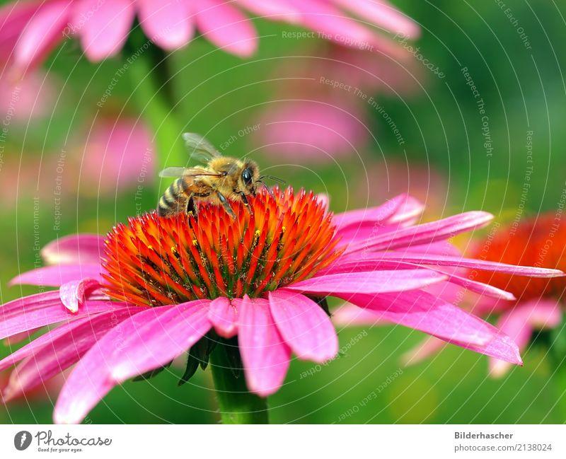 Bienenparadies Honigbiene Roter Sonnenhut Insekt Fluginsekt Blüte Blume Sommerblumen Blütenstauden Korbblütengewächs Blumenstrauß Blütenblatt Pollen Nektar