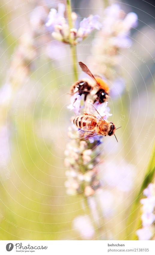 zu zweit Natur Pflanze Tier Sommer Schönes Wetter Blume Gras Blatt Blüte Lavendel Garten Park Wiese Wildtier Biene Tiergesicht Flügel Hummel Auge 2 Blühend Duft