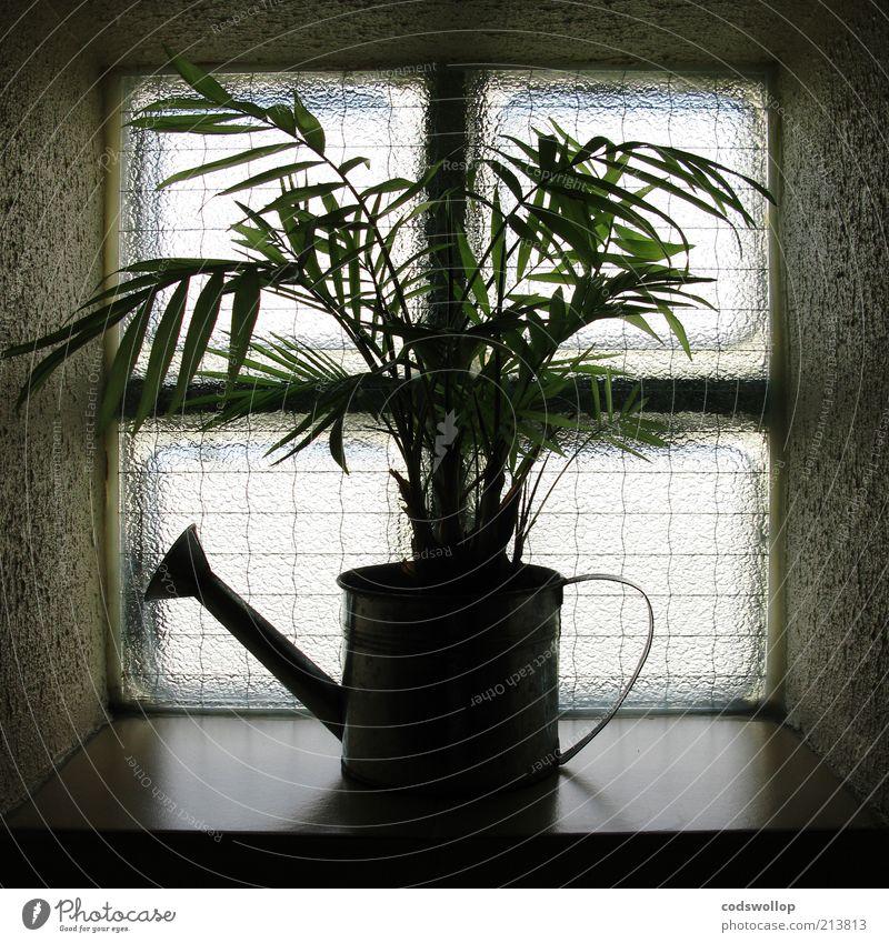 direct à la source Pflanze dunkel Fenster Umwelt trist Überleben Grünpflanze Gießkanne Fensterbrett Fensterkreuz Glasbaustein Fensterdekoration Grüner Daumen wachstumsfördernd