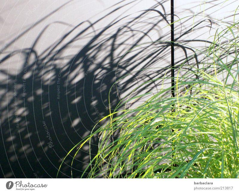 Unfrisiertes und beschwingtes Dasein grün schwarz Wand Gras Bewegung Mauer Linie elegant frisch Wachstum wild natürlich bizarr chaotisch Leichtigkeit Schattenspiel